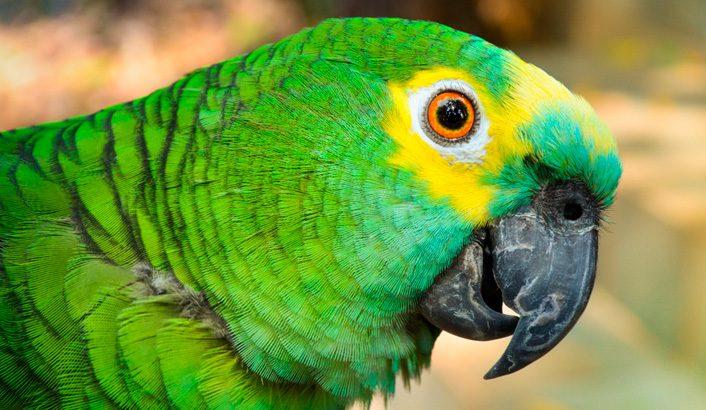 papagaio-706x410