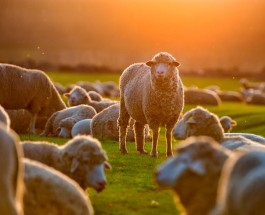 Voice of strangers vs. voice of the shepherd